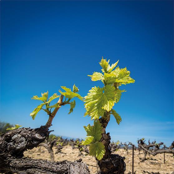 vignes-juliette-meffre-terra-vitis